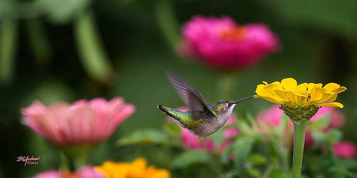 Hummer on yellow zinnia by Don Anderson