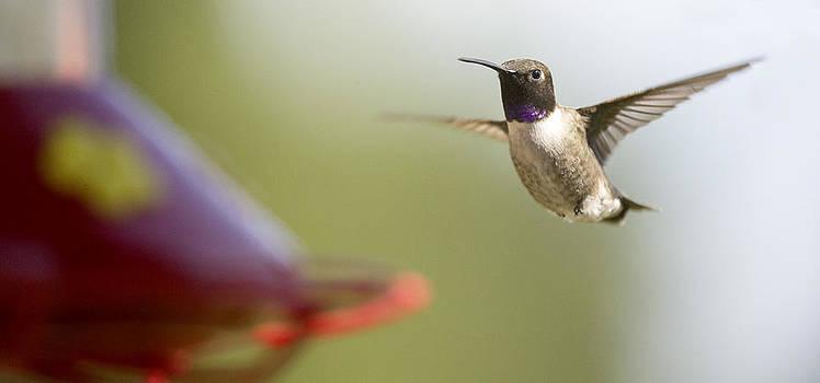 Humming Bird 1 by David Halter