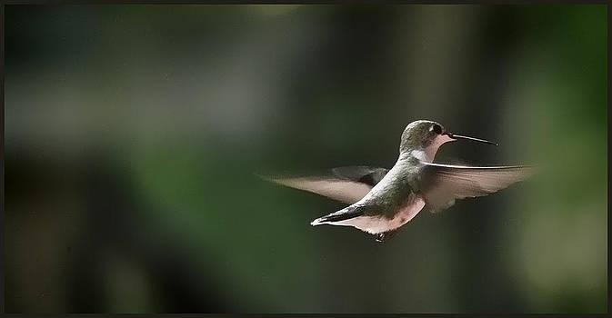 Humming Bird #2 by Jeffrey Platt
