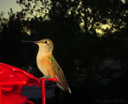 Joyce Dickens - Humming Bird Beauty