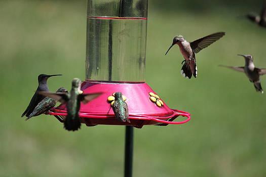 Humming Bird Feeding by Charlotte Craig