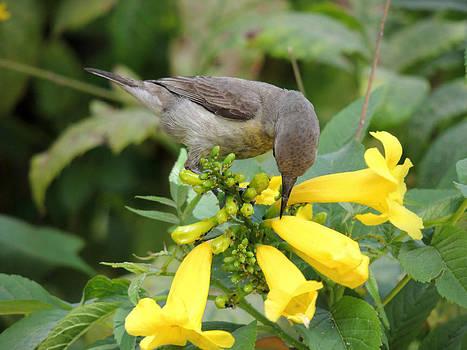 Humming bird on yellow flower by Ramesh Chand
