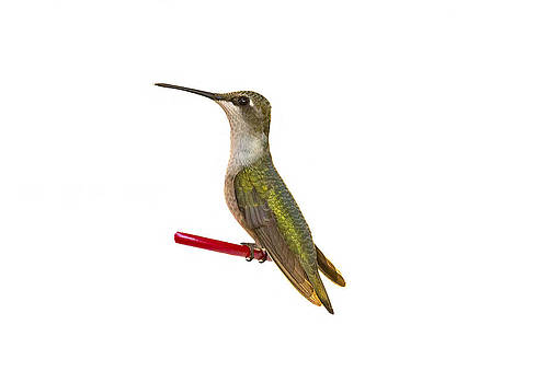 Humming Bird2 by Marty Maynard