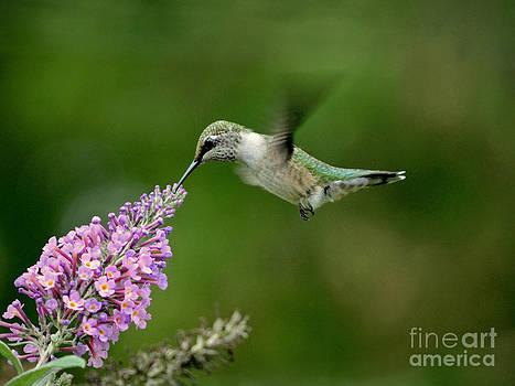 Humming Butterfly Bush by Sue Stefanowicz