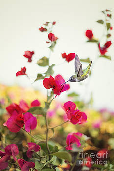 Susan Gary - Hummingbird and Bougainvillea