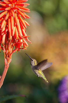 Cliff Wassmann - Hummingbird and flower