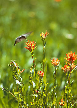 Hummingbird and paintbrush flower by Doug Herr