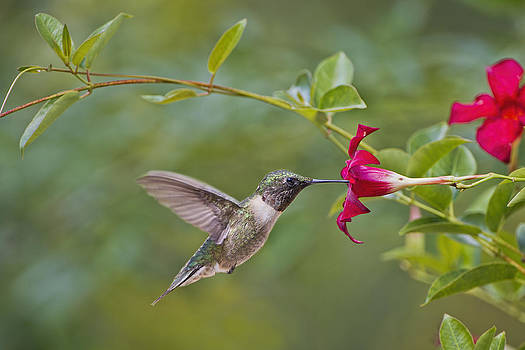 Hummingbird and Red Mandevilla by Bonnie Barry