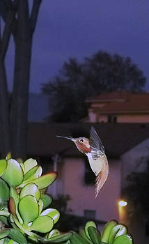 Hummingbird at dusk by Sally Stevens