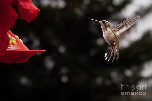 Hummingbird at Feeder by Cindy Singleton