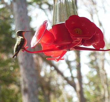 Hummingbird at Rest by Fawn Whelahan