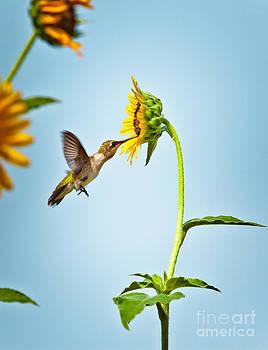 Hummingbird At Sunflower by Robert Frederick