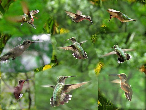 Hummingbird Collage by J D  Whaley