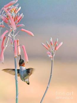 Wayne Nielsen - Hummingbird Flower Aloe Ruby and Blue