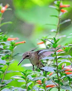 Wayne Nielsen - Hummingbird Forward Feet Flies