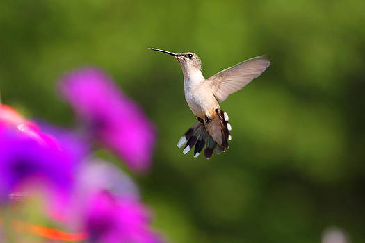 Hummingbird by Fuad Azmat