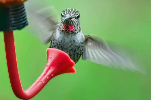 Hummingbird Houdini by Kenneth Haley