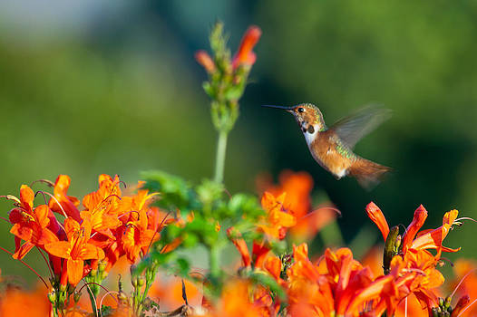 Hummingbird II  by Chris Heitstuman