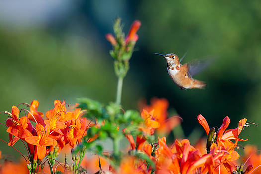 Hummingbird III by Chris Heitstuman