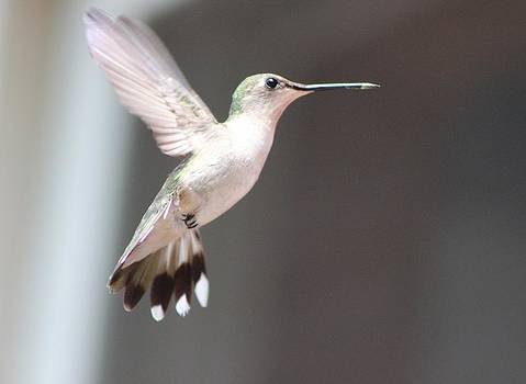 Hummingbird in flight by Christine Hafeman