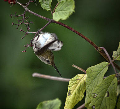 Hummingbird in Torpor by Elaine Snyder
