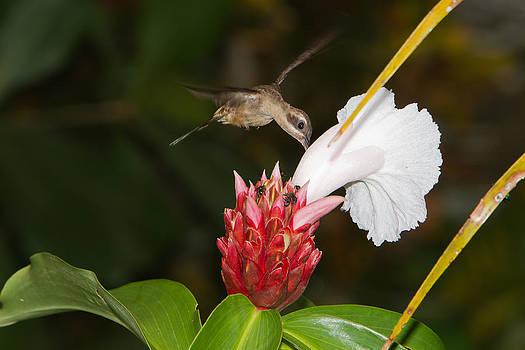 Hummingbird by Joep K