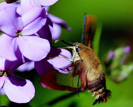 Rosanne Jordan - Hummingbird Moth and Bloom