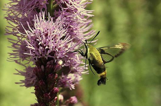 Rosanne Jordan - Hummingbird Moth and Blooms