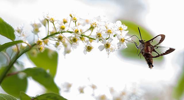 Dee Carpenter - Hummingbird Moth