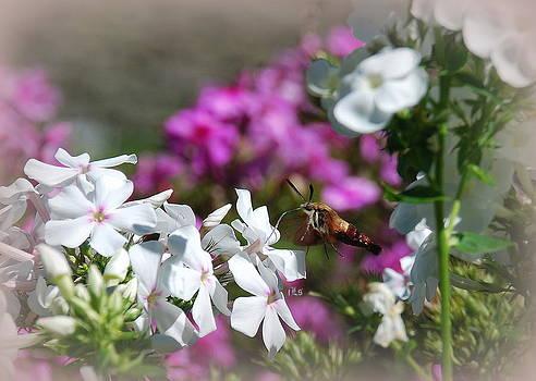 Hummingbird Moth by June Lambertson