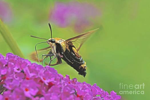 Regina Geoghan - Hummingbird Moth