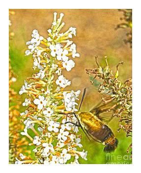 Hummingbird moth by Ronald Williamson