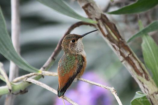 Diana Haronis - Hummingbird on a Branch