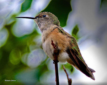 Hummingbird on a Branch by Stephen  Johnson