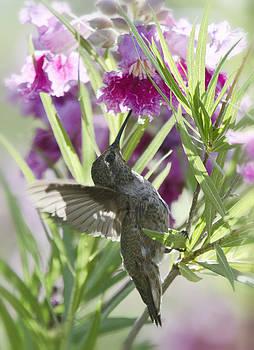 Saija  Lehtonen - Hummingbird on a Desert Willow