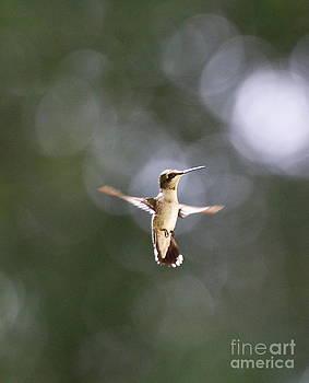 Wayne Nielsen - Hummingbird Pauses Erect Misty Light