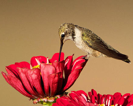 Hummingbird Perched on a Zinnia by Steve Kaye
