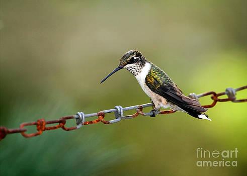 Sabrina L Ryan - Hummingbird Resting on a Chain
