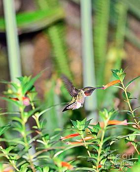 Wayne Nielsen - Hummingbird Ruby Throat at Cigar Orange