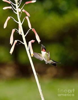 Wayne Nielsen - Hummingbird Sips Deep - Arches in Perfect Form into Trumphet