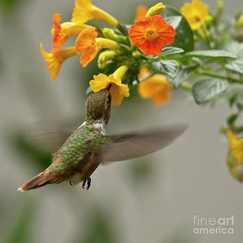 Heiko Koehrer-Wagner - Hummingbird sips Nectar