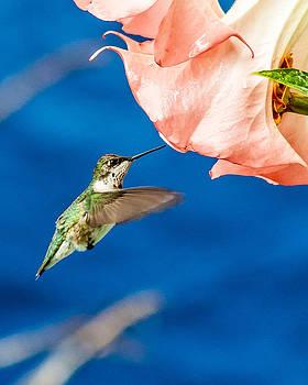 Charles Moore - Hummingbird visits Trumpet Flower