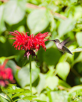 Hummingbird by Wayne Valler
