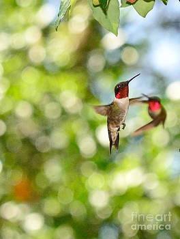 Wayne Nielsen - Hummingbirds in Fierce Fight of Arial Flight