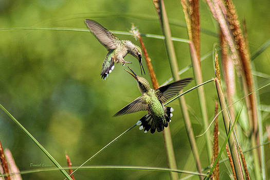 Hummingbirds in Fight by Daniel Caron