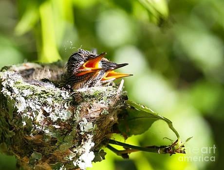 Hummingbirds by Steven Van Gucht