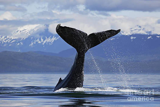 Humpback Whale lifting massive tail flukes high surrounded by snowcapped mountains in Alaska by Brandon Cole