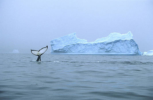 Colin Monteath - Humpback Whale Tail And Iceberg