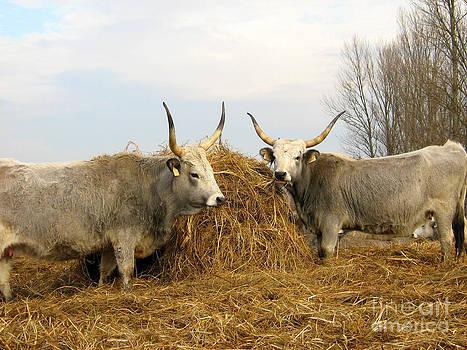 Alexa Szlavics - Hungarian Grey Cattle
