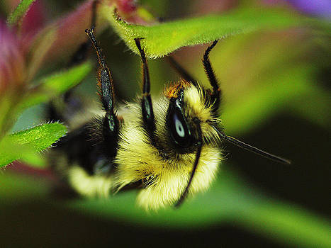 Hungry Bumblebee by Monica Veraguth